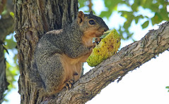 Having A Little Snack (Kaptured by Kala) Tags: foxsquirrel squirrel rodent whiterocklake dallastexas sciurusniger winfreypoint eating feeding osageorange maclurapomifera nativetree abovemyhead closeup