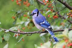 """ Blue jay- geai bleu "" (ricketdi) Tags: cyanocittacristata bluejay geaibleu coth5 ngc npc"