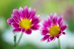 chrysanthemum 6279 (junjiaoyama) Tags: japan flower plant chrysanthemum mum pink autumn fall macro bokeh