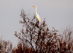___  di vedetta! (erman_53fotoclik) Tags: airone rami alto bianco uccello becco piante canon eos d
