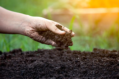 Soil in hand for planting (USDAgov) Tags: agriculturalresearchservice ars science penicillin antibiotics antibioticresistance bacteria illinois