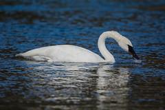 Shake shake shake (ChicagoBob46) Tags: trumpeterswan swan bird yellowstone yellowstonenationalpark nature wildlife coth5 naturethroughthelens ngc npc