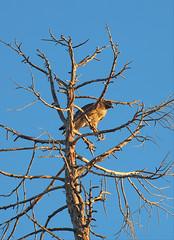 Gnarly perch (Gunn Shots.) Tags: redtailedhawk hawk raptor deadtree tree sunset