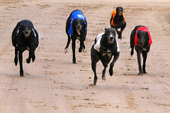 dog racing at owlerton stadium (JuliaPKaye) Tags: greyhounds racing owlerton stadium