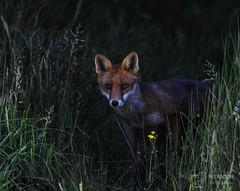 Mr Fox (mikedenton19) Tags: fox vulpes vulpesvulpes mammal british wildlife nature scotland scottishphotographyhides alanmcfadyen redfox dontrehamilton ericharris vladimirherzog chadholley tassosisaac marviniajiménez kathrynjohnston aiyanajones frankjudejr ntombikayisepriscillakhubeka rodneyking caraknott hamdilembarki pocholepratti abnerlouima midomacia jeremy mardis siphophilipmutsi davidoluwale javierovando sureshbhaipatel hectorpieterson snehalatareddy kluivertroa khaledmohamedsaeed ronsettles michaelstewart kellythomas iantomlinson joecampostorres weiwenhua isaacwoodard ottozehm neilaggett federicoaldrovandi anthonybaez stevebiko deandrebrunston eleanorbumpurs gidonebusch daviddao robertdavis dengzhengjia amadoudiallo berkinelvan lawrencefernandes felipefernándezarmesto