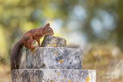 Red Squirrel-24.09.18_54I5975 (Jayne Bond) Tags: redsquirrel brownsea red graveyard dorset dorsetwildlife