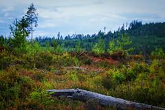 Swedish forests (Klas-Herman Lundgren) Tags: gagnef gimmen midsummer sverige sweden dalarna dalaskogarna firande forest midsommar skog sommar summer green red horizon wilderness uppsala