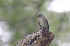Eastern Wood Pewee - Contopus virens - Cook County, Illinois - October 6, 2018 (mango verde) Tags: easternwoodpewee contopusvirens tyrannidae tyrantflycatchers contopus virens pewee flycatcher bird loyolapark cookcounty illinois usa mangoverde