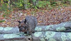 Sedum - 10/16/18 (myvreni) Tags: vermont autumn fall nature outdoors animals dogs cairnterriers pets