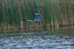 Great Blue Heron (phanmore) Tags: greatblueheron heron wildfowl birds wading kawartha trentsevern peterborough