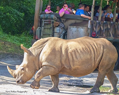 Traffic Jam (Harry Rother) Tags: animal mammal rhinoceros rhino white endangered safari kilimanjaro
