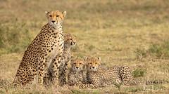 Maasai Mara Cheetah and cubs!