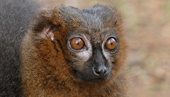 Up Close With A Red Belly (Obelus2000) Tags: redbelliedlemur lemur primate