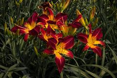 *** (alc.mint) Tags: flower lily garden botanical summer nature