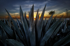 California Cactus (Sunset Dogs) Tags: