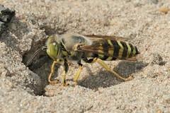 Bembix rostrata female at nest (iancrossbadgers) Tags: bembixrostrata crabronidae bembicini bembicinae