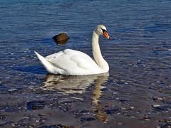 Schwan im Rhein (mama knipst!) Tags: schwan swan wasservogel bird rhein rhine rodenkirchen köln cologne oktober
