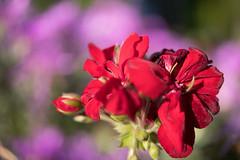 Blooming (OzzRod) Tags: bokeh flower red geranium pink garden hamiltonsouth newcastle smcpentaxdfa50mmf28macro k1 pentax