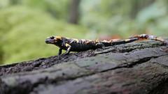 Feuersalamander (Aah-Yeah) Tags: feuersalamander salamander schwanzlurch caudata achental chiemgau bayern