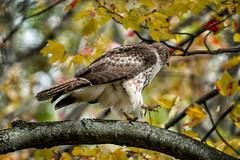 _DSC4633 Red Tailed Hawk (Charles Bonham) Tags: hawk redtailedhawk fall raptor leaves color tree branch bird bokeh red yellow talons sonya7rll sonyfe100400mmgmoss