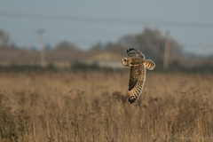Short Eared Owl-8706 (WendyCoops224) Tags: 100400mml 80d fens canon eos ©wendycooper asio flammeus short eared owl