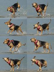 hydrophobic (Blende1.8) Tags: beach hydrophobic wasserscheu hydrophobicdog wasserscheuerhund dog pet segugio strand action moving movement bewegung aktion serie serienbilder sony a6300 ilce6300 sel70300g emount water wasser wetdog doginwater