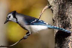 Autumn Blue Jay (NicoleW0000) Tags: bluejay jay corvid bird blue colourful colorful autumn fall nature wildlife ontario