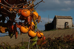 cachi (♥iana♥) Tags: vino uva grape vendemmia autunno autumn fall rosso red vite vigna grapevine montemarano avellino campania italia
