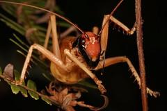 Leaf-rolling or Raspy Cricket (Gryllacrididae), female (John Horstman (itchydogimages, SINOBUG)) Tags: insect macro china yunnan itchydogimages sinobug entomology canon raspy leafrolling cricket orthoptera gryllacrididae
