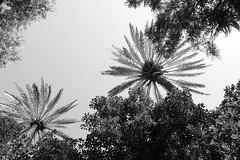 Plaza del Museo # 3 (just.Luc) Tags: trees bomen arbres bäume spain spanje espagne españa spanien andalusië andalucía andalusien andalousie andalusia sevilla seville séville siviglia bn nb zw monochroom monotone monochrome bw nature natuur gaia