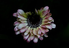 Not Fully Formed (Diane Marshman) Tags: gerber daisy flower pink white yellow green petals dark center annual garden pot planter container landscape plant spring summer fall season blooming blooms blossoms nature pa pennsylvania blackbackground