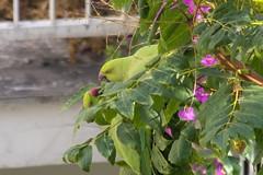 Out of context II (Ava Babili) Tags: bird urbannature parakeet parrot roseringedparakeet athens greece