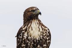 Red-tailed Hawk / Buse à queue rousse (shimmer5641) Tags: buteojamaicensis redtailedhawk buseàqueuerousse busardocolirrojo hawk accipitridaefamily raptor birdofprey birdsofnritishcolumbia birdsofnorthamerica