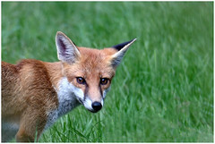 Fox Portrait. (vegetus aer) Tags: woodwaltonfen greatfen greatfenproject wildlifetrust bcnwildlifetrust nnr cambridgeshire red fox redfox