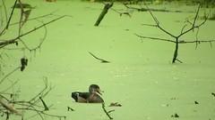 Wood Duck_3745.mp4 (Henryr10) Tags: eastforklake eastforkstatepark bethelohio littlemiamiriverbasin usa stevenewmantrailhead woodduck aixsponsa aix duck avian bird vogel ibon oiseau pasare fågel uccello tékklistar waterfowl wodu
