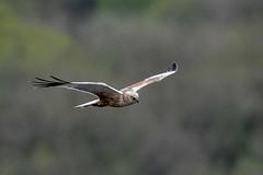 Marsh Harrier Silverdale RSPB F00377 D210bob DSC_1093 (D210bob) Tags: marsh harrier silverdalerspb f00377 d210bob dsc1093 nikond7200 birdphotography birdphotos naturephotography naturephotos nikon wildlifephotography nikon200500f56 rspb leightonmoss