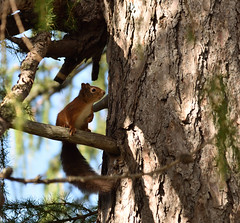 DSC_3837_00001 (Karantez vro) Tags: squirrel ecureuil eichhornchen scotland highlands ecosse schottland scoiattolo nikkor nikon 24120mm f4 lens