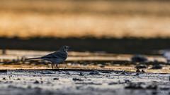Pliszka siwa/Wagtail/Motacilla alba (mirosławkról) Tags: pliszka alba wagtail motacilla wild wildlife animal bird nature nikonnaturephotography 150600 water pond marsh mud