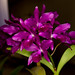 "Cattlianthe Bactia ""Grape Wax"" – Anita Spencer"