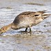 Pin Tailed Duck -Female