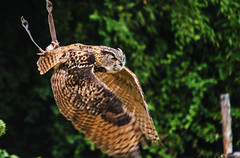 GUFO IN ADDESTRAMENTO    ----    OWN IN TRAINING (Ezio Donati is ) Tags: uccelli birds animali animals natura nature alberi trees italia oasidisantalessio provinciadipavia