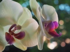Orchidee (valeriaconti136) Tags: orchidacee fiori macro orchidaceae bokeh flowers orchidea olympusepl7