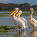 Great White Pelicans, Lake Naivasha