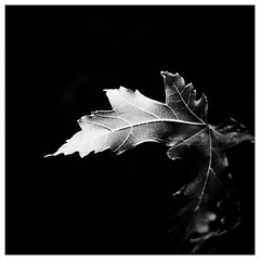 _DSF4213-Mr (gillesporlier) Tags: maple leaf feuille erable dark sombre landscape lumiere bright clair bnw nb noiretblanc blackandwhite contrast paysage lignes lines structure