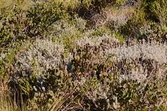 Helichrysum cymosum (galanhsnu) Tags: helichrysumcymosum helichrysum gnaphalieae asteroideae asteraceae asterales rooiels southafrica