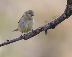 American Goldfinch (Bill McDonald 2016) Tags: goldfinch finch avian perched perching billmcdonald canada ontario fall september 2018