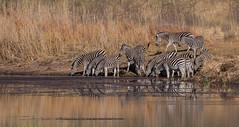 Drinking Zebras (ToriAndrewsPhotography) Tags: zebra drinking lake entabeni reserve safari nature conservancy south africa photography andrews tori wild