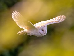 4D4A0EBD-0678-4619-BCFA-4F65FF8D07EC (Ted Smith 574) Tags: barn owl owls hunting
