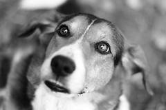 Nyx (Jérôme_M) Tags: canon eos 600d f14 50mm bokeh chien dog perro eyes yeux regard noiretblanc noir blanc blackandwhite black white aquitaine landes seignanx saintmartindeseignanx lemondedelaphoto natimages