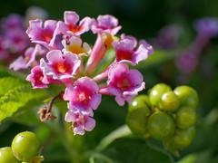 Flowers (wezetauswe) Tags: mft lumix gf7 blume flower makro